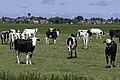 Oldehove - koeien.jpg