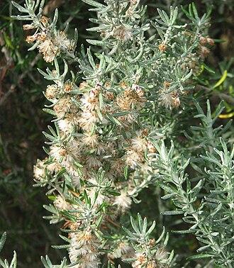 Olearia axillaris - Image: Olearia axillaris
