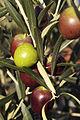 Olives (UOVO PICCIONE) Cl J Weber (11) (23122178016).jpg