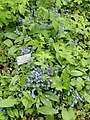 Omphalodes cappadocica - Botanischer Garten Freiburg - DSC06456.jpg