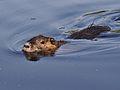 Ondatra zibethicus Germany Darmstadt Steinbrücker Teich Swimming.jpg