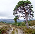 One of the last pines in the Ballochbuie Forest - geograph.org.uk - 551830.jpg