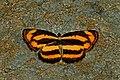 Open wing Basking of Pantoporia hordonia (Stoll, 1790) – Common Lascar WLB DSC 7330.jpg