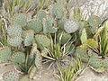 Opuntia sps (5676591714).jpg