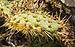Opuntia stricta, Forêt domaniale de Sète 01.jpg