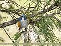 Orange-flanked Bush Robin (Tarsiger cyanurus) (50800327713).jpg