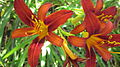 Orange Daylily thin petals.JPG