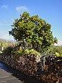 Orangenbaum in Las vegas, Chimiche - panoramio.jpg