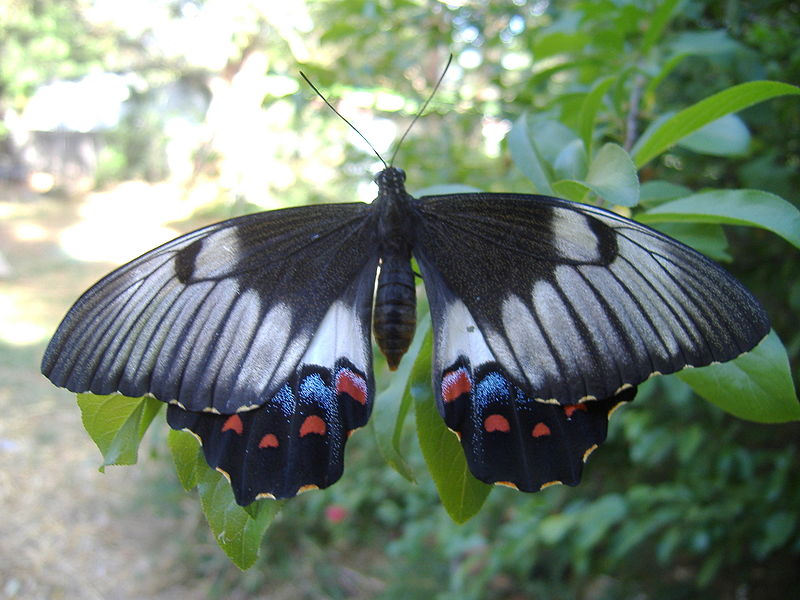 File:Orchard-Swallowtail-Butterfly.jpg