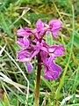 Orchid, Rodborough Common - geograph.org.uk - 1286533.jpg