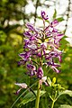 Orchid At Waldstetter Valley (213731701).jpeg