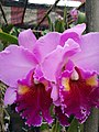 Orchid from Thailand 4.jpg
