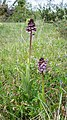 Orchis purpurea in Aveyron (7).jpg