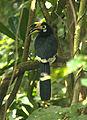 Oriental Pied Hornbill Anthracoceros albirostris by Dr. Raju Kasambe IMG 2558 (13).JPG