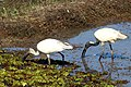 Oriental White Ibis (23631745060).jpg