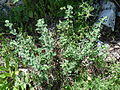 Origanum syriacum Nachal Kziv 2.JPG