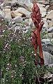 Orobanche alba inflorescence (06).jpg