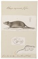 Otomys capensis - met schedel - 1700-1880 - Print - Iconographia Zoologica - Special Collections University of Amsterdam - UBA01 IZ20500183.tif