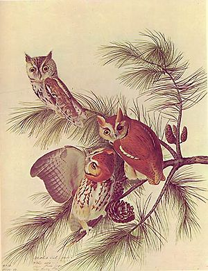 Eastern screech owl - Illustration of the owl by Audubon