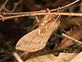Oxycanus subvaria (41112133955).jpg
