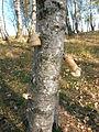 Pădurea de argint Dobreni 13.JPG