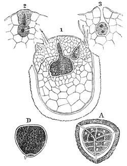 PSM V25 D177 Female spore of selaginella with small prothallus.jpg