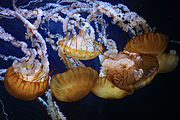 Pacific Sea Nettles (Chrysaora fuscescens).jpg