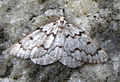Packard's Girdle moth.jpg