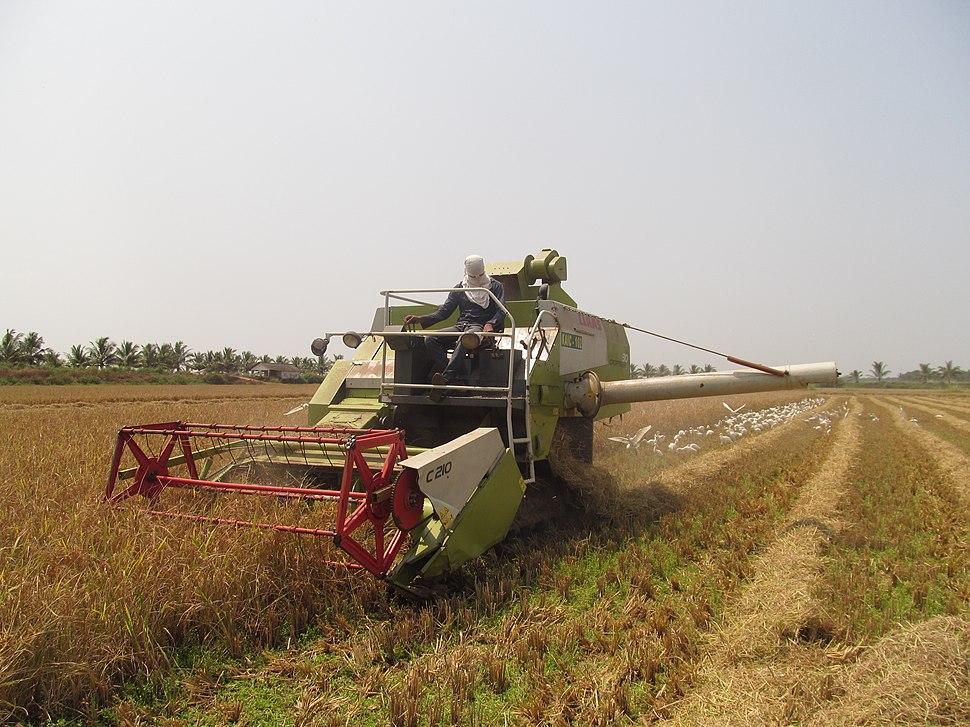 Paddy Harvesting, Thrissur Kole Wetlands IMG 5482