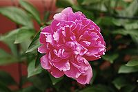Paeonia lactiflora.jpg
