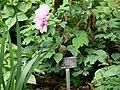 Paeonia suffruticosa 2.jpg