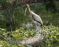 Painted stork juvenile (Mycteria leucocephala - Flickr - Lip Kee.jpg