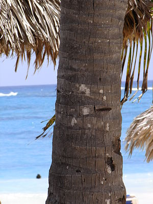 A palm tree trunk at the Bavaro Princess resort beach in Dominican Republic.