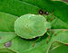 Palomena prasina qtl1.jpg