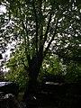Památné stromoví Bransoudov 07.jpg