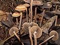 Panaeolus.subbalteatus.1.jpg
