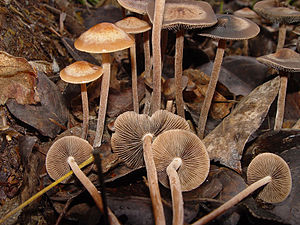 Panaeolus cinctulus - Wikipedia