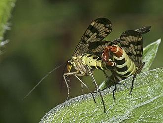 Mecoptera - Panorpa communis mating