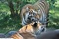 Panthera tigris 7zz.jpg