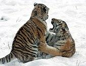 Panthera tigris altaica 20 - Buffalo Zoo.jpg