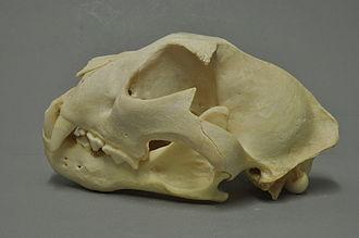 Snow leopard - Snow leopard skull.