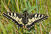 Papilio.machaon.7553.JPG