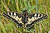 Papilio.machaon.7553.JPG