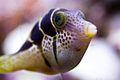 Paraluteres prionurus en acuario.jpg