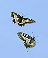 Pareja de mariposas rey en vuelo 02 - couple of Swallowtails - Papilio machaon (433901785).jpg