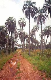 Syagrus yatay in Parque Nacional El Palmar, Argentina