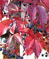 Parthenocissus quinquefolia, Waldsieversdorf, September 2011.jpg