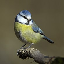 Photograph of a blue tit standing on a twig