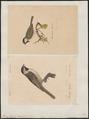 Parus lugubris - 1700-1880 - Print - Iconographia Zoologica - Special Collections University of Amsterdam - UBA01 IZ16100123.tif