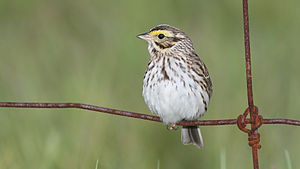 Savannah sparrow - Probably P. s. oblitus, Kirkfield, Ontario, Canada